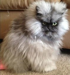 Meet Colonel Meow: The Internet's Angriest Cat