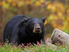 Bear Sanctuaries in Jharkhand, India @ Sanctuariesindia.com