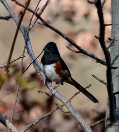 This is the Eastern Towhee and boy is it hard to get a good picture of this bird.  The Eastern Towhee likes to fly into thick bushes, quickly hop to the ground, spread its wings, and then walk backwards to stir up his dinner.  L. Marvel