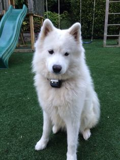 Lolly Samoyed, Husky, Dogs, Animals, Animales, Animaux, Pet Dogs, Samoyed Dog, Doggies