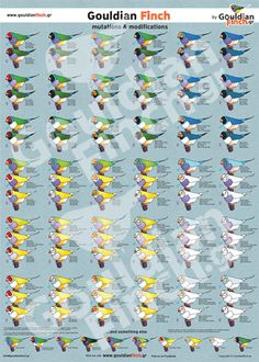 Over 100 recorded and displayed mutations . A must for all those Gouldian Finch Lovers / Breeders out there. Small Birds, Colorful Birds, Pet Birds, Bird Aviary, Bird Perch, African Lovebirds, Finch Cage, Zebra Finch, Australia Animals