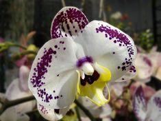 Legkedveltebb orchidea fajták - Balkonada Wonderful Flowers, Orchids, Presents, Tropical, Christmas Ornaments, Holiday Decor, Campaign, Photography, Watercolor Painting