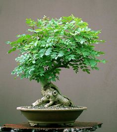 Bonsai Tree Ideas A Guide To Bonsai Trees For Beginners Bonsai Tree Ideas. The art form of bonsai can be a wonderful and unique hobby. Viewing and taking good care of a bonsai collection can be a r… Bonsai Tree Care, Bonsai Tree Types, Indoor Bonsai Tree, Plants Indoor, Indoor Gardening, Air Plants, Cactus Plants, Mini Bonsai, Mini Plantas