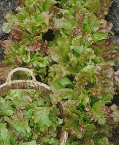 Lettuce 'Santa Fe' #garden #vegetable