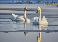 Stock Photo: Whooper swan (Cygnus Cygnus) couple swimming in icy lake in the spring in Finland.
