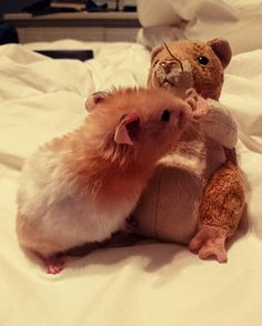 Siblings #aww #Cutehamsters #hamster #hamstersofpinterest #boopthesnoot #cuddle #fluffy #animals #aww #socute #derp #cute #bestfriend #itssofluffy #rodents