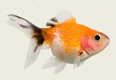 Pearlscale Red White & Black Fancy Goldfish | Tropicali