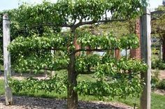 Espalier fruit trees with posts and wires. Living fence. This is the goal of how I want the trees to look.