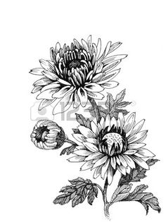 Flower Drawing Hand drawing chrysanthemum Stock Vector - - Millions of Creative Stock Photos, Vectors, Videos and Music Files For Your Inspiration and Projects. Line Art Flowers, Flower Art, Aster Flower, Botanical Drawings, Botanical Art, Chrysanthemum Drawing, Chrysanthemum Flower, Crisantemo Tattoo, Crysanthemum Tattoo