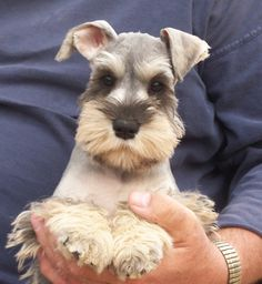 Mini Schnauzer puppy OMG this puppy is so super darling, what an adorable face