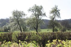 Ancient (maybe even 200 years old), Majestic Perry Pear Trees