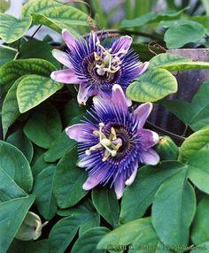 BLAUWE PASSIEBLOEM groeit 2 tot 10 meter hoog, is winterhard tot -12°C en semi-groenblijvend. Het geeft zeer mooie bloemen maar moet eerder op warme plaatsen geplant worden.
