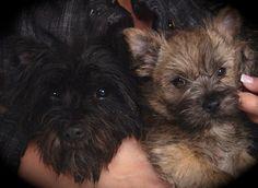 Gallery - Cairn Terrier Club of America