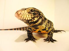 A better picture of a Tegu Lizard :)