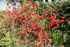 Buy flowering quince Chaenomeles × superba 'Crimson and Gold' - Bright crimson flowers with gold centres in spring: Delivery by Crocus Chaenomeles, Garden Plants, Delivery, Bright, Spring, Flowers, Gold, Trees, Gardens