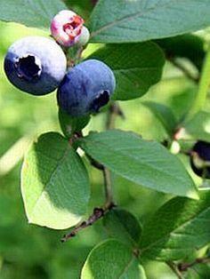 """Kanadská čučoriedka """"BLUECROP"""", Koreninová a liečivá záhrada"""