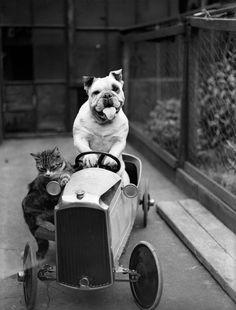 A cat and a bulldog in a toy car, 1933.
