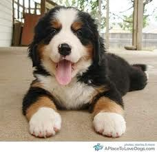 Bernese Mountain Dog.  So cute, but must live in a cool climate!