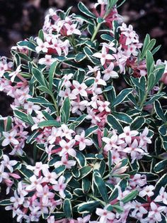 Daphne x burkwoodii Carol Mackie Type: Shrubs Height: Short (Plant 30 apart) Bloom Time: Early Spring to Late Spring Sun-Shade: Full Sun to Half Sun/ Half Shade Zones: Find Your Zone Soil Condition: Normal, Acidic Flower Color / Accent: Pink / Pink瑞香,月桂 Early Spring Flowers, Spring Blooms, Colorful Flowers, Pink Flowers, Beautiful Flowers, Spring Perennials, Small Shrubs, Garden Shrubs, Flowering Shrubs