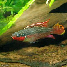 Pelvicachromis taeniatus Nigerian Red