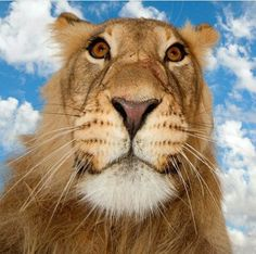 Looking at a African Male Lion From a Different Perspective. (by Tan Hermoso).