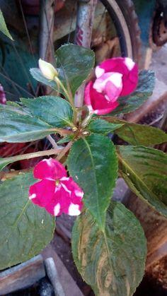 Es muy linda esta flor, es una alegria del hogar.