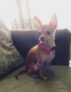 lovely chihuahua pup rescue story: Everyday is a Holiday: Meet the newest member of the family...Lieutentant Dan!