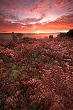 Spectacular sunrise in the New Forest National Park. It was photographed on the bracken covered heathland, close to the village of Burley on a misty autumn morning. See more pics at www. Uk Landscapes, Orkney Islands, Forest Photography, Forest Floor, New Forest, Photography Workshops, Landscape Photographers, Photographic Prints, Great Britain