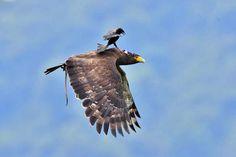 Замечательные кадры, на которых маленькая, но очень гордая птичка, прокатилась верхом на могучем орле.