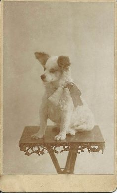 c.1880 cdv of little white dog (terrier) with brown ears — and a huge bow — sitting on a rustic table. Photographer's name is very faint on the back, but I think it says McKay Co., Artistic Photographer, Boston, Mass. From bendale collection