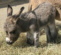 If you wonder what a donkey can eat, you can find all important feeding facts here. Take good care of your donkey with best information. Baby Donkey, Cute Donkey, Mini Donkey, Donkey Donkey, Baby Cows, Baby Elephants, Zebras, Animals And Pets, Funny Animals