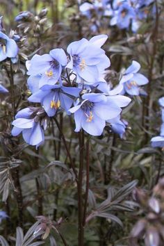 Polemonium 'Bressingham Purple' Jacobs Ladder (common name) one of our favorite spring woodland bloomers with the added bonus of nice looking foliage