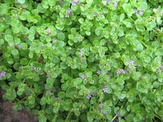 Corsican Mint - (Mentha requenii) - a best seller Mint Garden, Shade Garden, Corsican Mint, Growing Mint, Pineapple Mint, Mint Plants, New Roots, Ground Cover Plants, Aromatic Herbs
