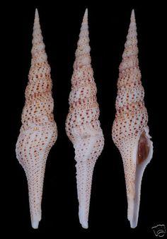 Sea shells Turris Grandis (GIANT)156mm #TUR-42   eBay