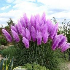 Rare-Purple-Pampas-Grass-Seeds-So-beautifully-decorated-courtyard-Cortaderia-Selloana-Grass-100pcs-lot.jpg (532×532)