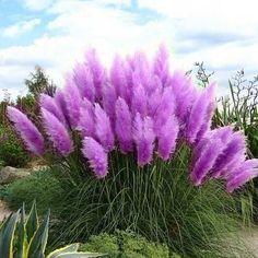 Rare-Purple-Pampas-Grass-Seeds-So-beautifully-decorated-courtyard-Cortaderia-Selloana-Grass-100pcs-lot.jpg (532×532)