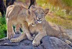 Loving touch #lioncubs by Ion Moe