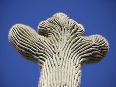 crested-saguaros-3