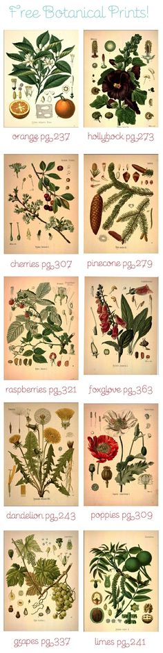 free botanical art prints (more designs than shown) by Rosa Brown