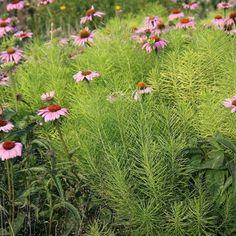 amsonia companion plants - Google Search Sandy Soil, Clay Soil, Companion Planting, Landscaping Plants, Drought Tolerant, Blue Flowers, Habitats, Perennials, Grass