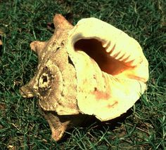 Shell trumpet budyung.  Tagbalili, Esperanza, Bukidnon.