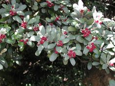 Pittosporum crassifolium, commonly called Karo, is a small tree or shrub native to New Zealand. Planting Flowers, Plants, Dark Purple Flowers, Native Plant Landscape, Planting Plan, Endangered Plants, Native Garden, Shrubs, Trees To Plant