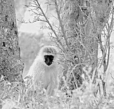 Macaco Vervet (cara preta) em altocontraste