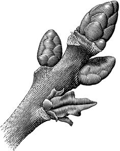 Scratchboard illustrations by Michael Habert done with a woodcut or engraved look. Engraving Illustration, Plant Illustration, Botanical Illustration, Ink Pen Drawings, Easy Drawings, Scratchboard Art, Art Basics, Floral Drawing, Digital Art Tutorial