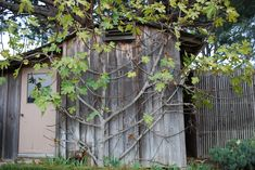 The Art of Espalier Fruit Trees     Black Jack Fig Tree Going Dormant, Fan Espaliered on Storage Shed