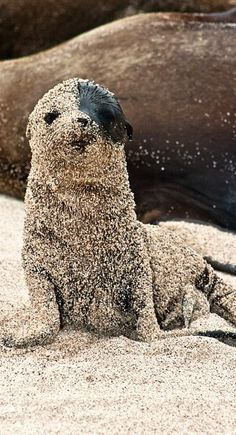 """I love how composed this baby sea lion is, just contentedly sitting there (mostly) covered with sand. """"Galapagos Sea Lion"""" by Ink Light Animals And Pets, Baby Animals, Funny Animals, Cute Animals, Cute Creatures, Beautiful Creatures, Animals Beautiful, Tier Fotos, Pet Birds"""
