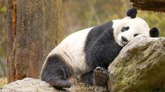 Une activité réduite au minimum permet au panda de survivre à son régime inadapté. Photo ChiKing/Flickr