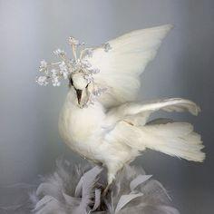 Snow white vintage taxidermy French rare dove Wedding Jeanne d'arc interior.