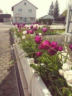 Tulpen lila Frühling