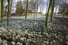 It is at that time of year again when snowdrops are out in bloom, and these are the best places to see displays of the little wintery flower in February. Places To See, The Good Place, February, Bloom, Country Roads, Display, Flowers, Plants, Floor Space